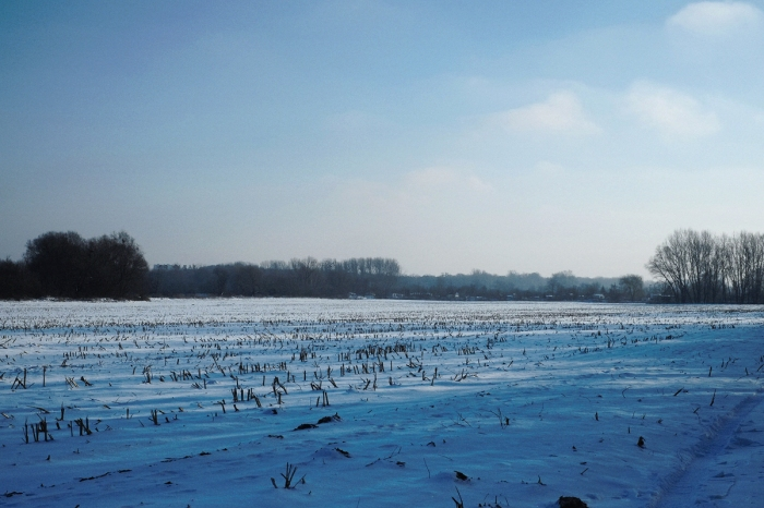 Cornfield covered with snow - Pole kukurydzy pokryte śniegiem