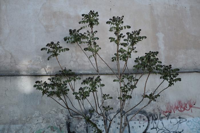 Tree against the wall - Drzewo naprzeciw ściany