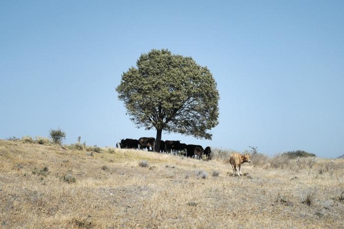 Catle under the tree - Bydło pod drzewem